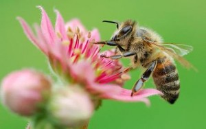 Honey bee on flower, close-up, differential focus